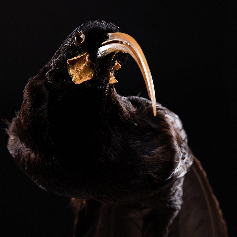 Huia-Bird-1-edited