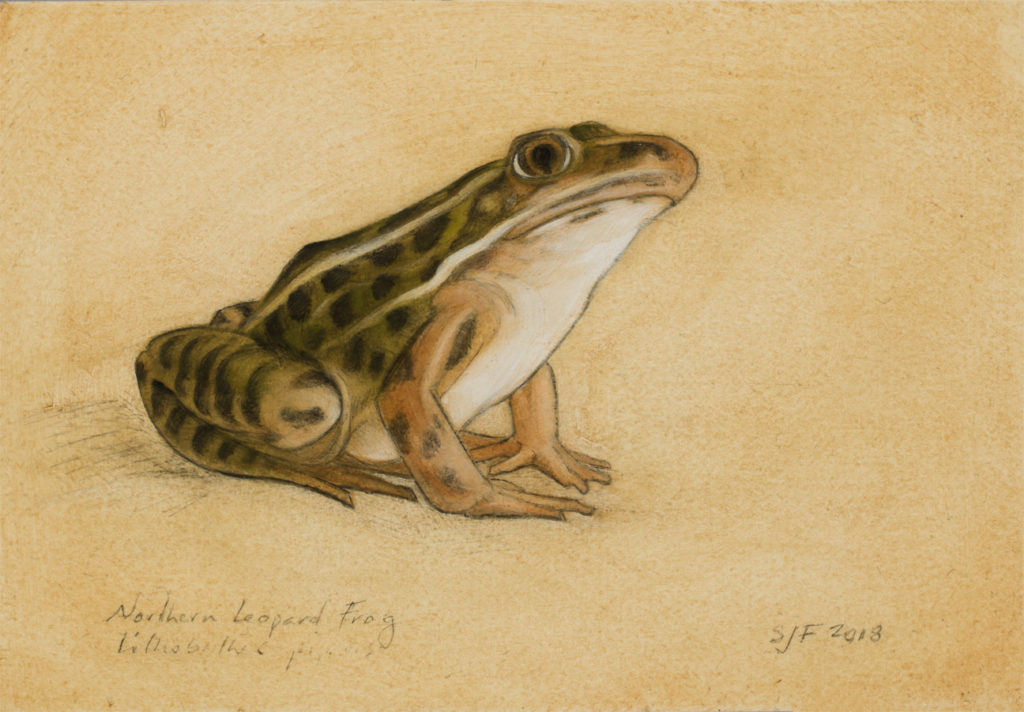 """Northern Leopard Frog, 2018. Graphite & oil on art board, 4x6"""". Sold"""