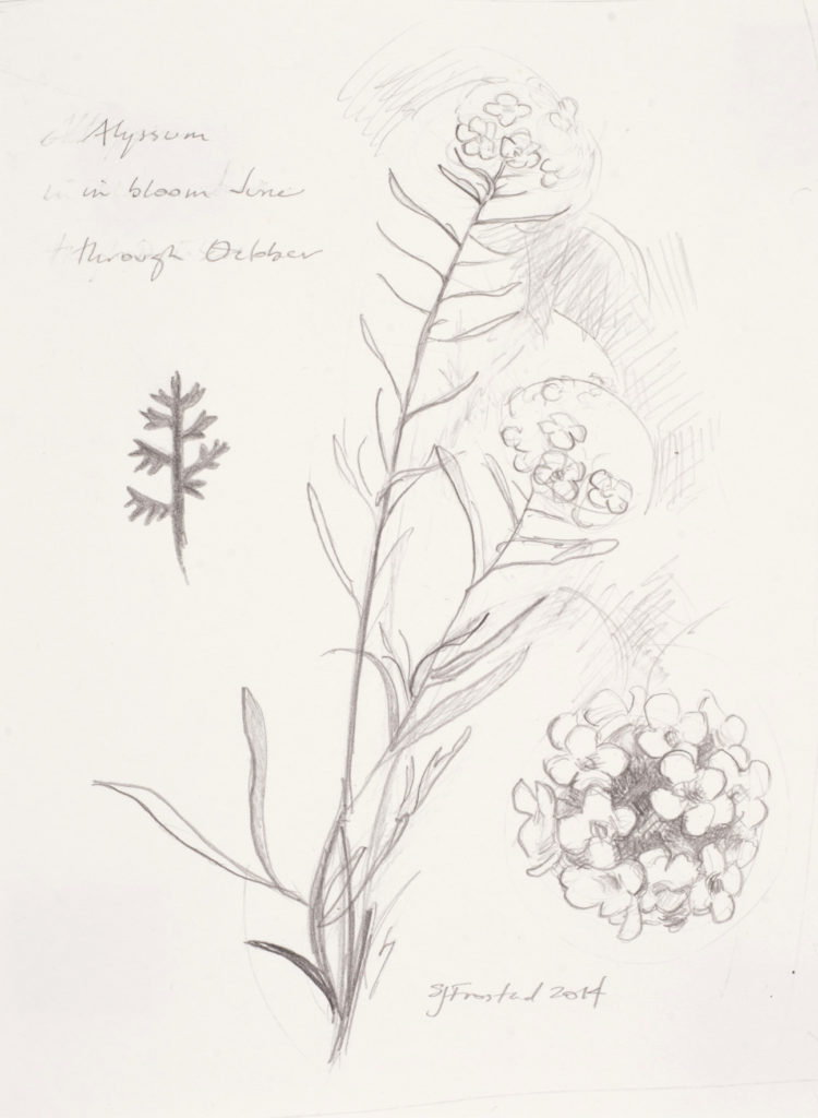 "Alyssum Study, 2014. Graphite on paper, 7x5"". 20."