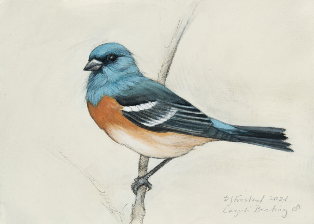 """Lazuli Bunting, 2021. Graphite & oil on wood panel, 5x7"""", Sold"""