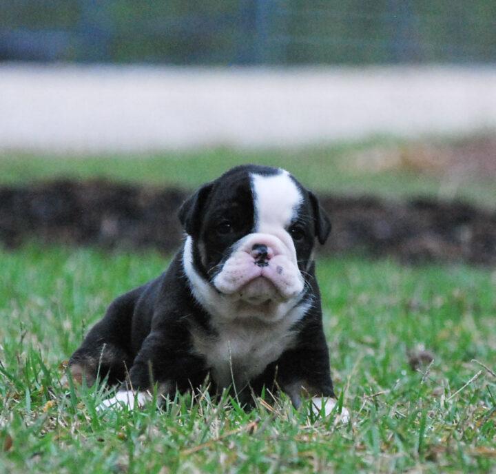 Old English Bulldog Adult Dog Archie