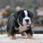 Old English Bulldog Adult Dog Beauregard