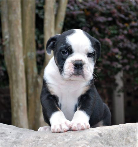 Old English Bulldog Adult Dog Boo