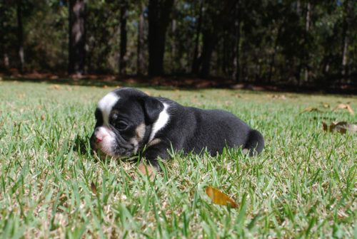 Old English Bulldog Adult Dog Brewster