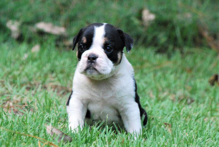 Old English Bulldog Adult Dog Clementine