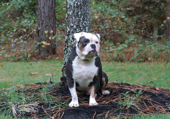 Old English Bulldog Adult Dog Gunny