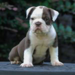 Old English Bulldog Adult Dog Gus