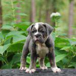 Old English Bulldog Adult Dog Louie