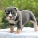 Old English Bulldog Adult Dog Louise