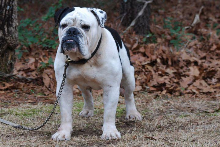 Old English Bulldog Adult Dog Mack