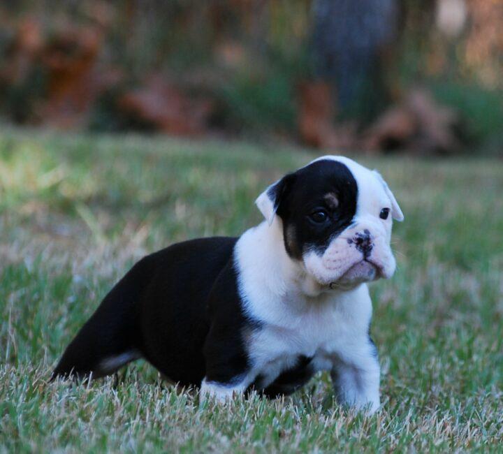 Old English Bulldog Adult Dog Maggie