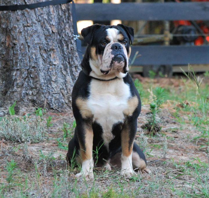 Old English Bulldog Adult Dog Oscar