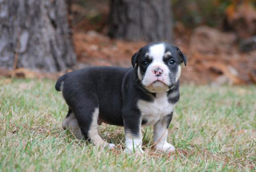 Old English Bulldog Adult Dog Thor