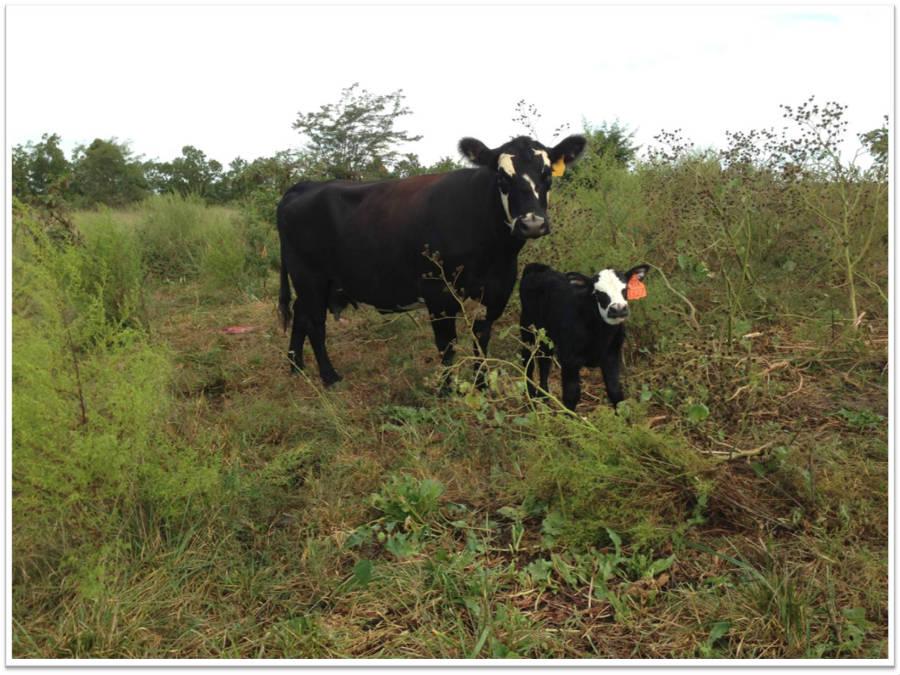 Cow_Baby_2_900.jpg