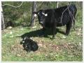 Cow_Baby_1_900.jpg