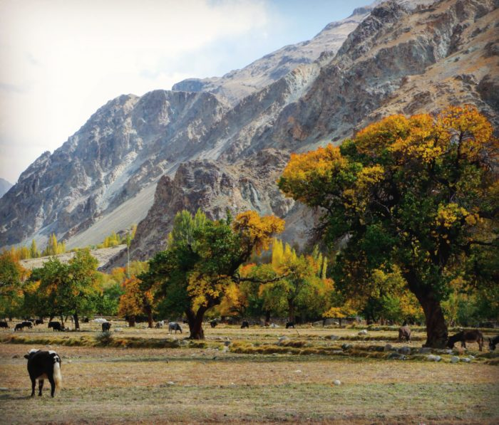 Colourful apricot trees during autumn in Turtuk.
