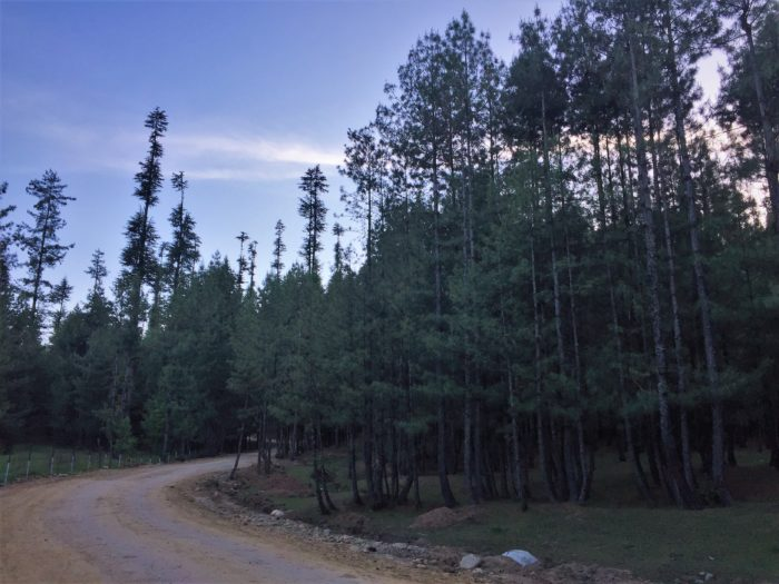 Pine forest where I got lost for a while and turned back to Kupwara.