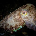 Broadclub-Cuttlefish