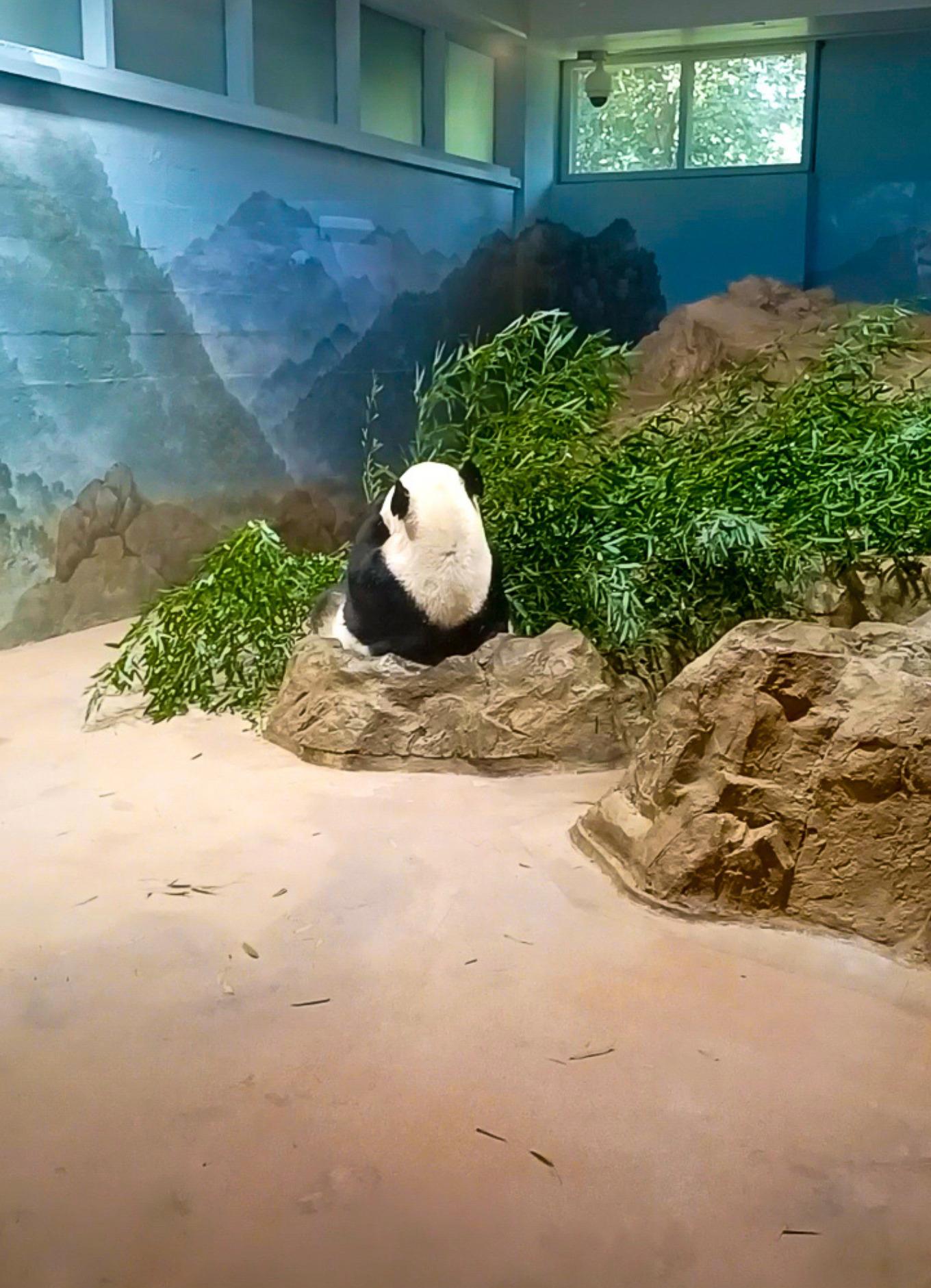A giant panda turns his back at Washington DC's National Zoo