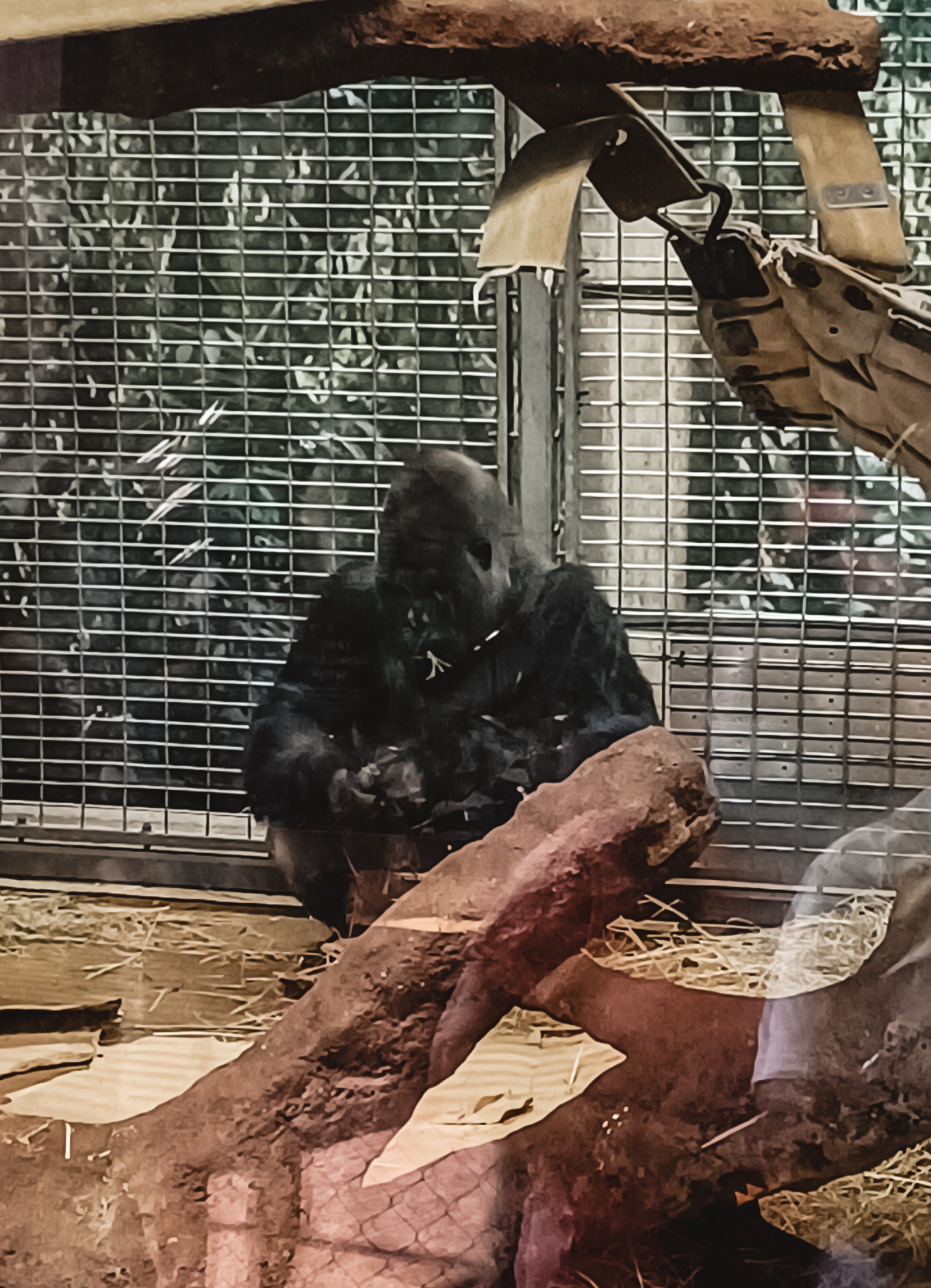 A gorilla sits in the corner and eats at Washington DC's National Zoo