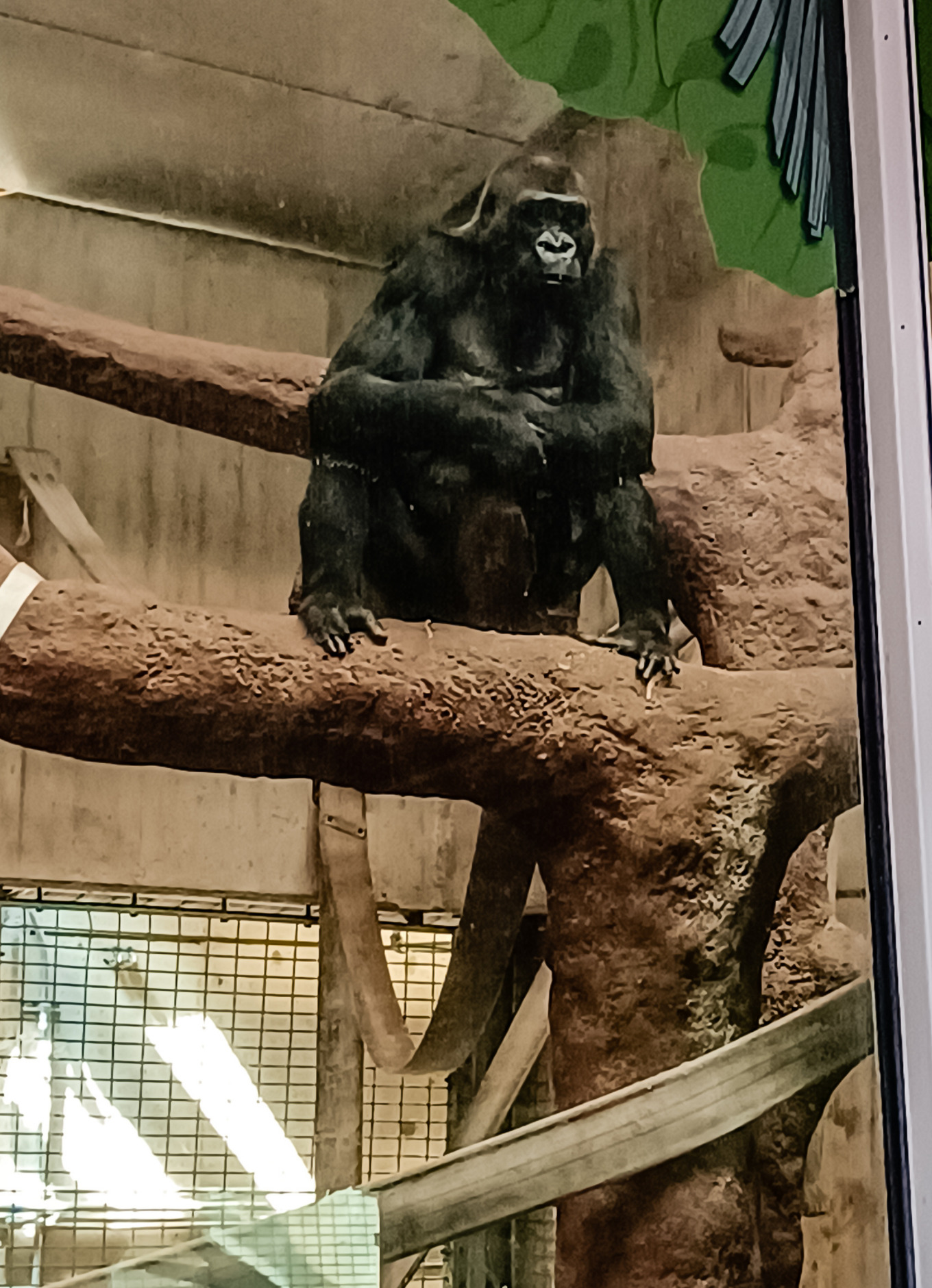A female gorilla sits perched in a tree at Washington DC's National Zoo.