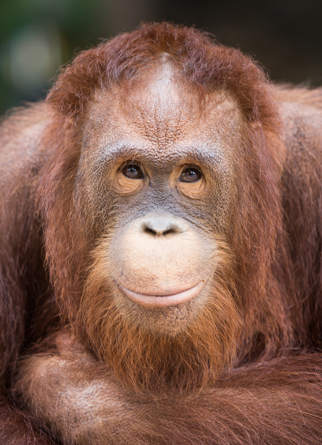 Photo of a beautiful orangutan (stock photo)