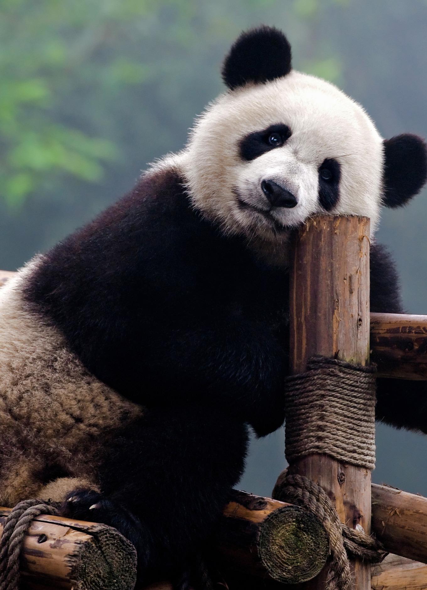 Photo of a giant panda (stock photo)