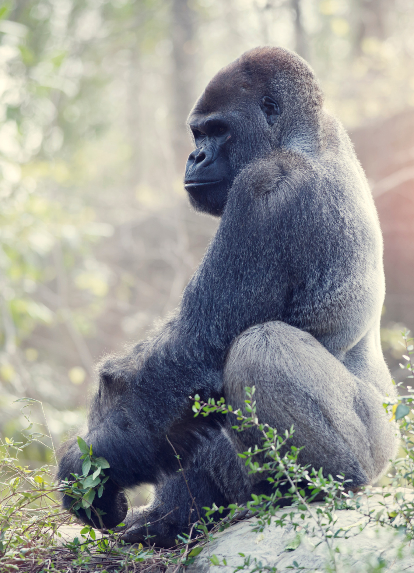Stock photo of a black gorilla