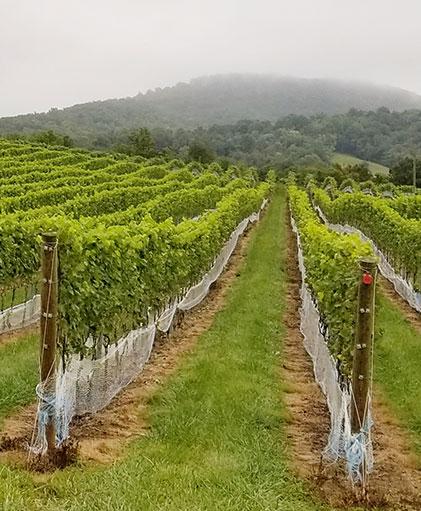 Bull Run vineyard landscape