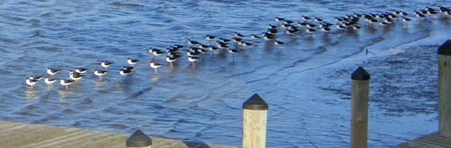 black-necked-stilts