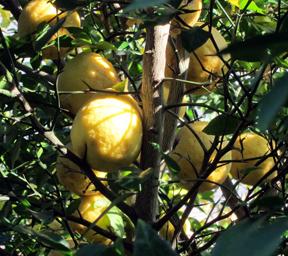 lemons-2012dec3