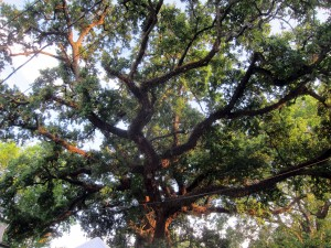oaks-ursulines