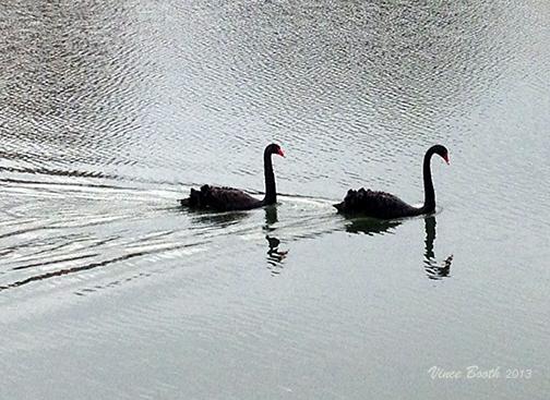 swans-VinceBooth-2013dec10