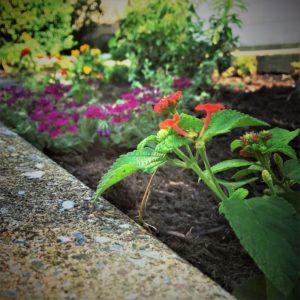 verbena and lantana spillers urban gardening