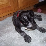 image of german shortaired pointer