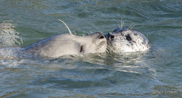 Harbor Seal pup bonding with mom by Paul Brewer