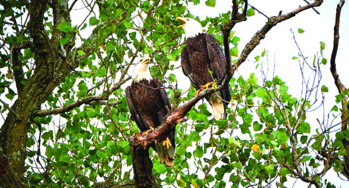 The eagles have landed at area lake