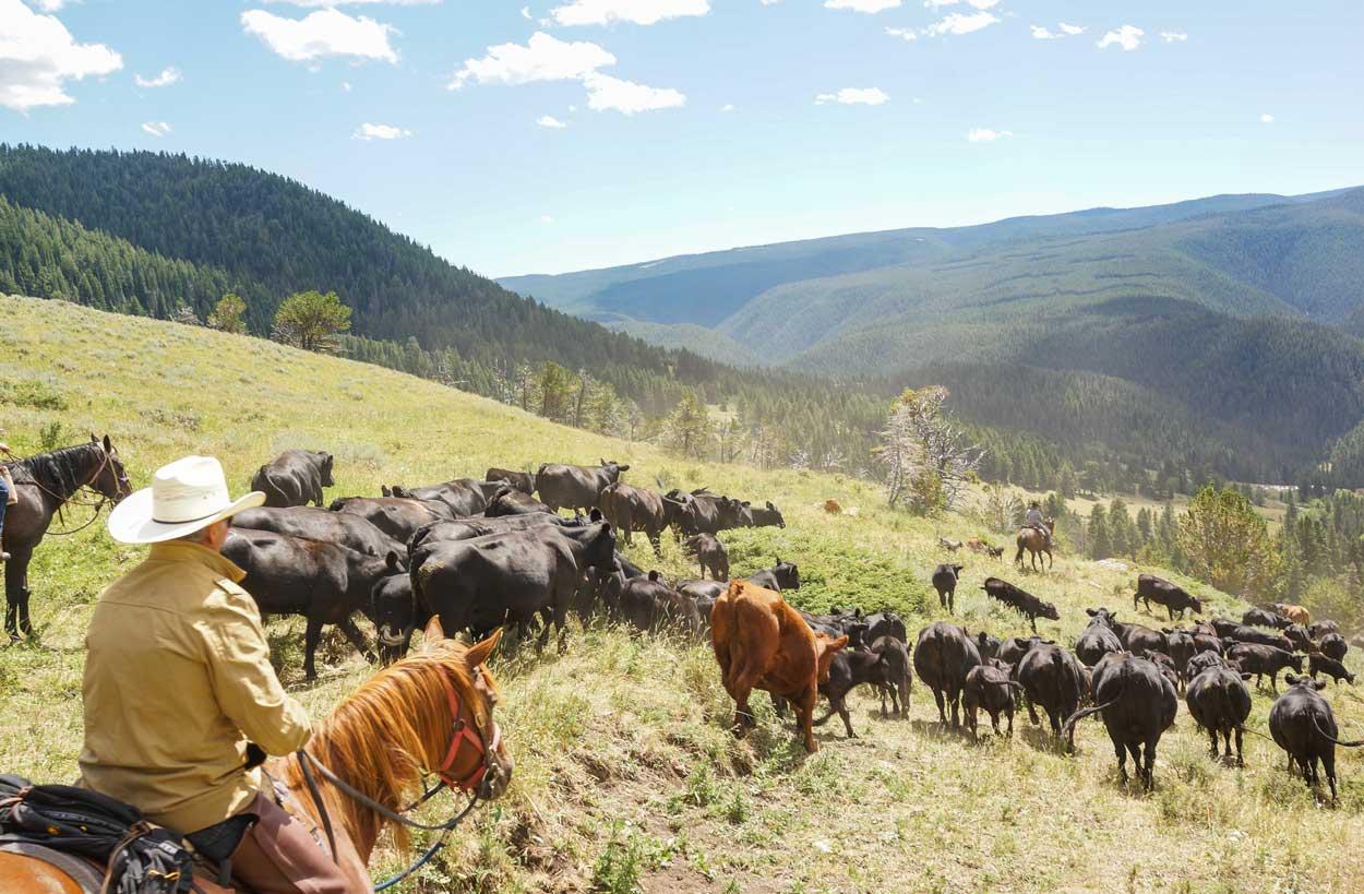 herd-cattle-guest-ranch-buffalo-wy