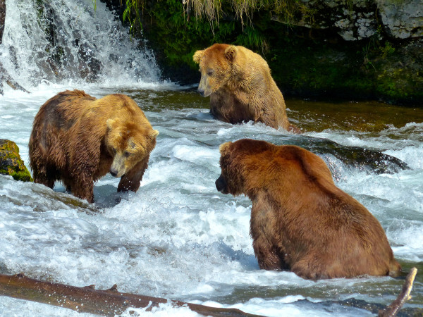 Brooks Falls- 3 bears fishing