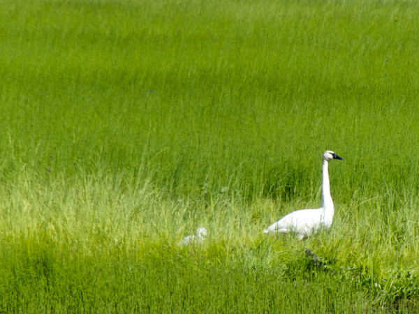Swan Lake- trumpeter swan and baby