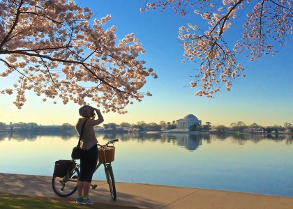 Cherry Blossoms in DC- bicyclist taking photo