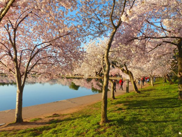 Cherry Blossoms in DC- blossoms to yourself
