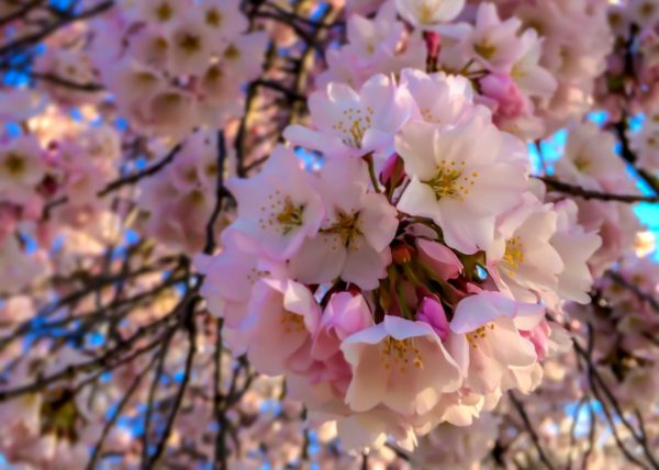 Cherry Blossoms in DC- close up of blossoms