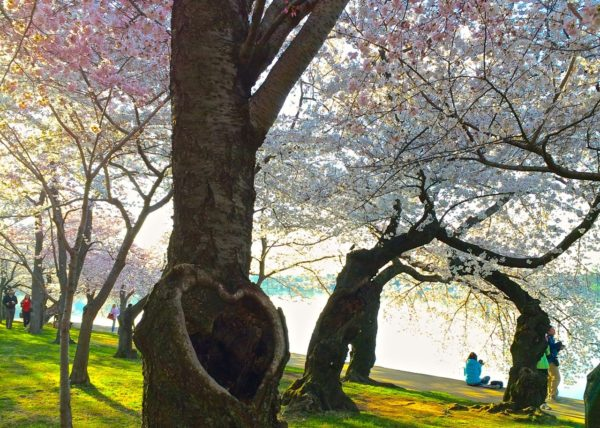 Cherry Blossoms in DC- the Heart tree 2