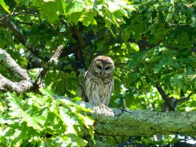 Shenandoah National Park- Owl 2