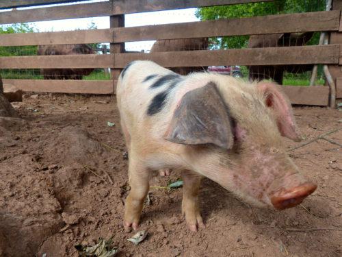 Whitmore Farm- Puccini the Pig