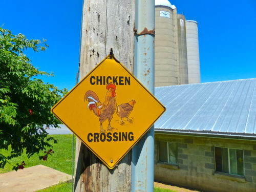Frederick agritourism- Chicken Crossing at England Acres