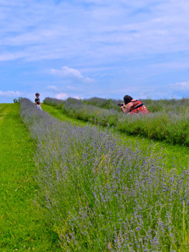 Frederick agritourism- Springfield Manor's Lavender Field
