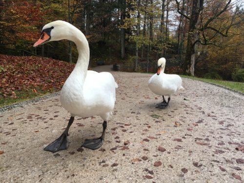 Linderhof- swans