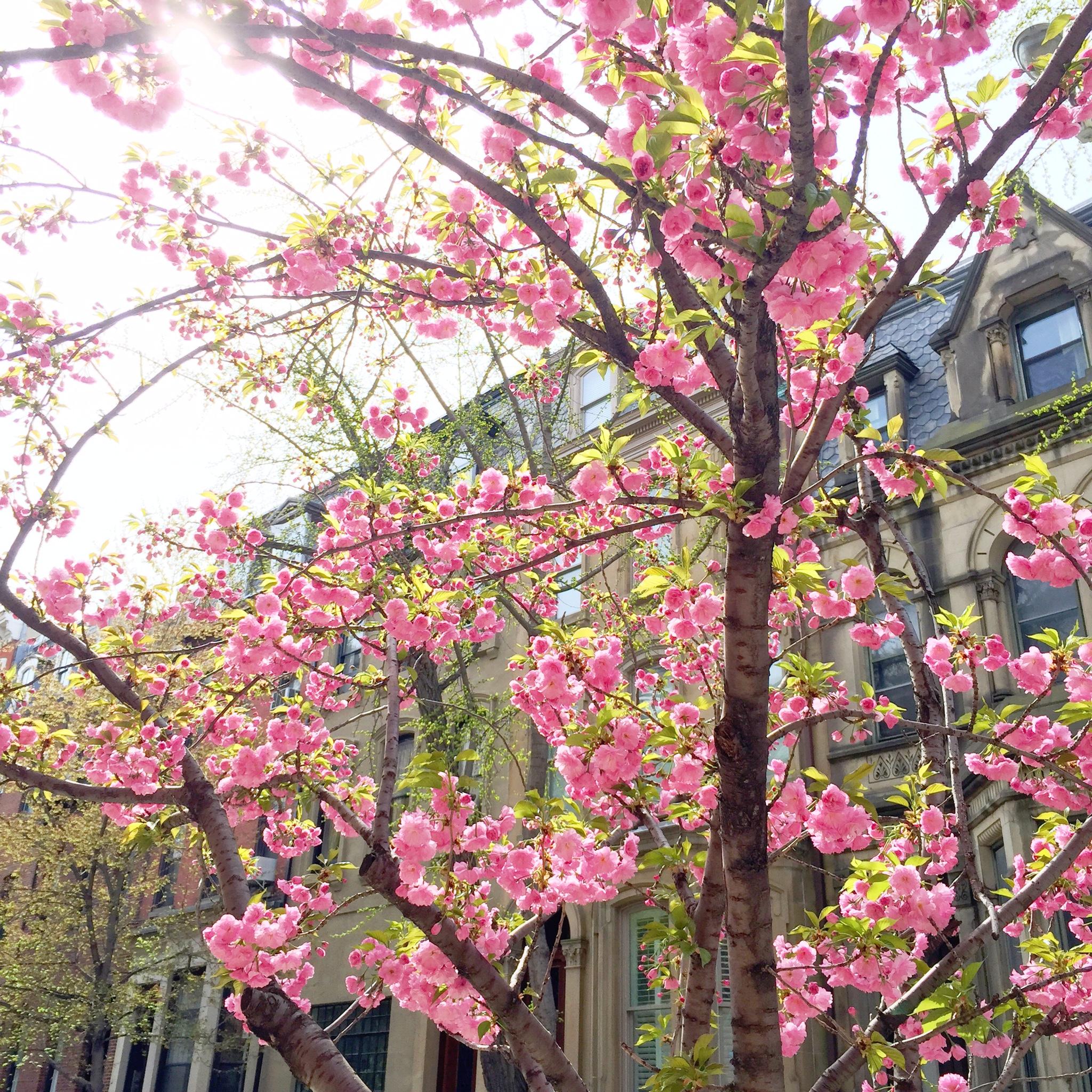 cherry blossoms | spring in philadelphia